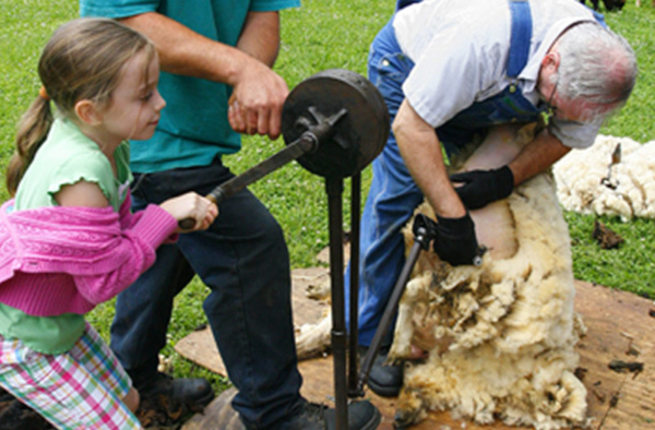 MOA Sheep Shearing Day